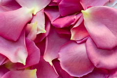 Background with pink petals of roses Stock Photos
