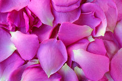 Background with pink petals of roses Royalty Free Stock Images