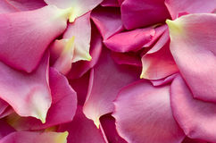 Background with pink petals of roses Stock Images