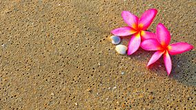 Background of pink Plumeria flowers on beach sand. Concept of holiday or relaxing time Royalty Free Stock Photography