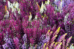 Background of pink, purple, white and green heather in bloom. Rich colors royalty free stock photo