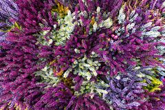 Background of pink, purple, white and green heather in bloom fro stock photo