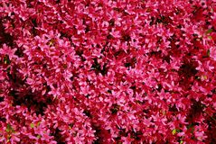 Background pink rhododendron Royalty Free Stock Photos