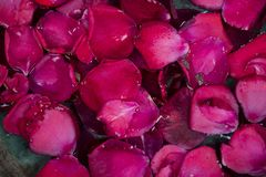 Background of pink rose petals in bowl with water Stock Images