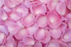 Background of pink rose petals. Top view. Stock Images