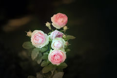 Background pink roses Stock Image