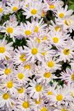 Daisy flowers. The background of pink white daisy flowers stock photos