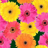 Background of pink, yellow and orange flowers Royalty Free Stock Image