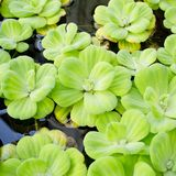 Background of Pistia stratify Linn.-water plant Stock Photo