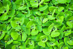 Background of Pistia stratiotes Linn Stock Images