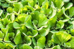 Background of Pistia stratiotes Linn Royalty Free Stock Photography