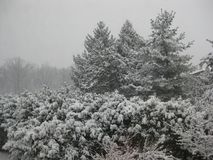 Pines and shrubs laden with snow. Background with plants laden with fresh snow with leaden sky Stock Photos