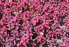 Background of plants of maroon Coleus Royalty Free Stock Photo