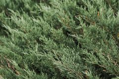 Background from plants, thuja stock photo