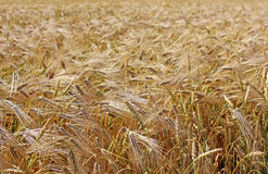Background from plants of the wheat Stock Image
