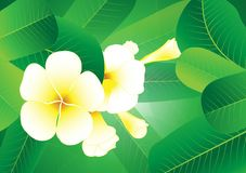 Background .Plumeria Stock Photography