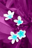 Background, Plumeria, Rauvolfioideae, Stock Images