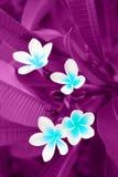 Background, Plumeria, Rauvolfioideae,. Background with Plumeria plant blossom, Rauvolfioideae stock images