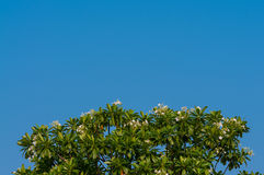 Background of Plumeria tree texture with blue sky. Royalty Free Stock Photos