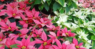 Background of poinsettia foliage. The typical plant of Christmas royalty free stock image