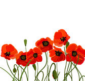 Background with poppy Royalty Free Stock Photo