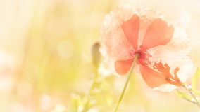 Background with poppy in full sun summer concept stock image