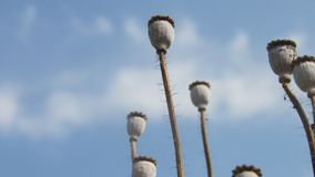 background poppy seed heads dry sticks with blue sky white cloud royalty free stock photo
