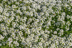 Background of the popular garden annual alyssum Royalty Free Stock Photo