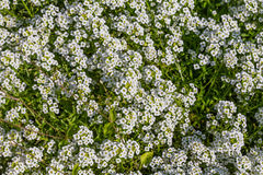 Background of the popular garden annual alyssum Stock Images