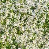 Background of the popular garden annual alyssum Stock Photos
