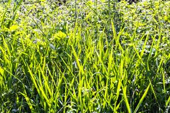 Newly formed reed spears in Combe Valley Marshes, East Sussex, England royalty free stock photos