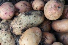 Background of potato. Freshly dug potatoes lying on the ground Stock Photos