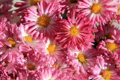 Background of pretty pink flowers Stock Image