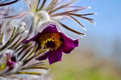 Background with pulsatilla flowers Stock Photos