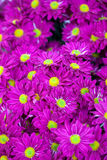 Background of purple flowers Stock Photography
