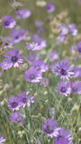 Background of purple flowers on a green meadow closeup in wild nature royalty free stock photos