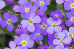 Background of purple flowers Royalty Free Stock Image
