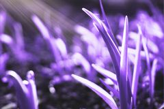 Background of purple grass. royalty free stock photo