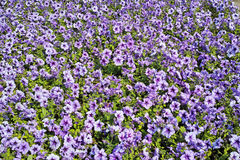 Background of purple petunias Stock Images