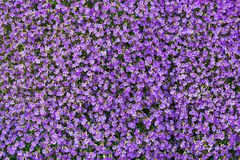 Background of purple rockcress flowers in spring Royalty Free Stock Images