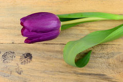 Background of purple tulip and  old used knotted wooden background with empty space Royalty Free Stock Photo