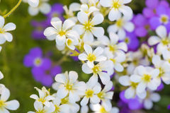 Background of purple and white flowers Royalty Free Stock Photo