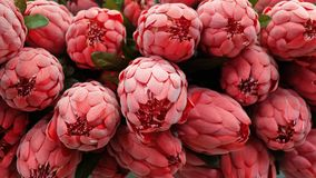 Background of Red Artificial Protea Aristata Flowers Royalty Free Stock Photo
