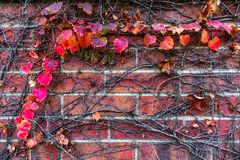 A Background of Red Autumn Leaves and Vines on a Brick Wall royalty free stock photo