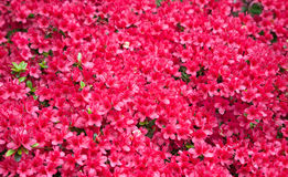 Background of red azalea flowers Stock Images