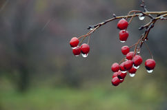 Background of red berries of hawthorn with rain drops Royalty Free Stock Image