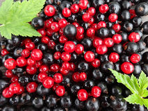 Background of red and black currants closeup and green leaves Royalty Free Stock Photography