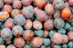Background of red and blue overripe plum. Royalty Free Stock Photography