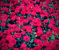 Background of red carnations in vintage effect Royalty Free Stock Image