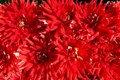 Background of the red color gerberas Stock Photography